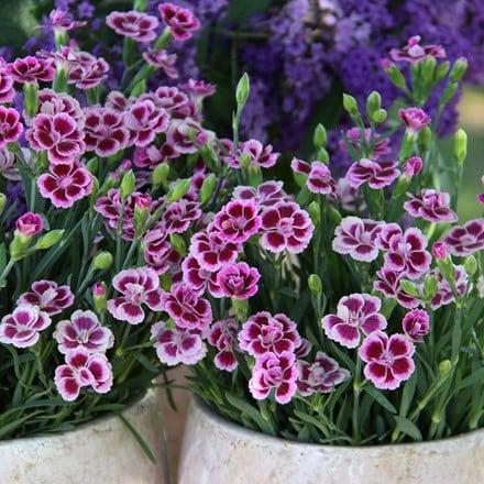 Dianthus Pink Kisses ('Kledg12163') (PBR)
