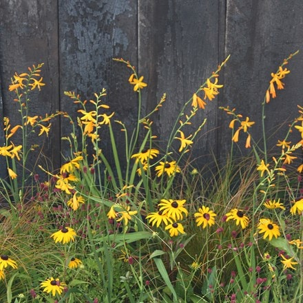 Golden prairie plant combination