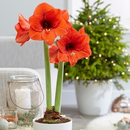 Hippeastrum Royal Red