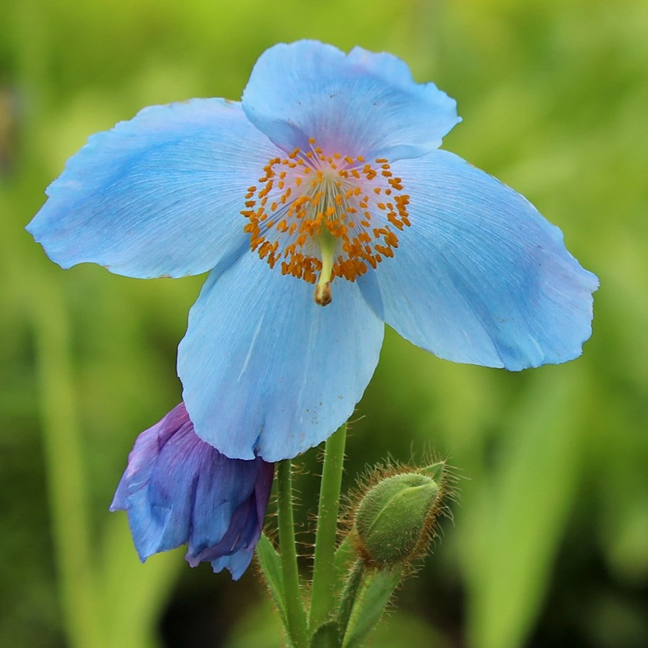 himalayan blue poppy 'Lingholm'
