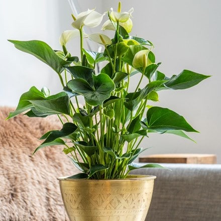 Anthurium White Champion ('Anthefaqyr') (PBR)
