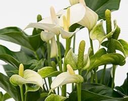 Anthurium White Champion ('Anthefaqyr') (PBR)