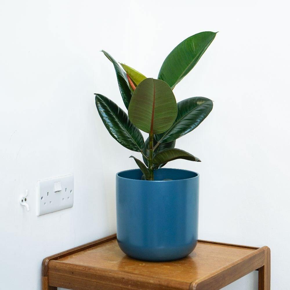 Wonderful Rubber Plant