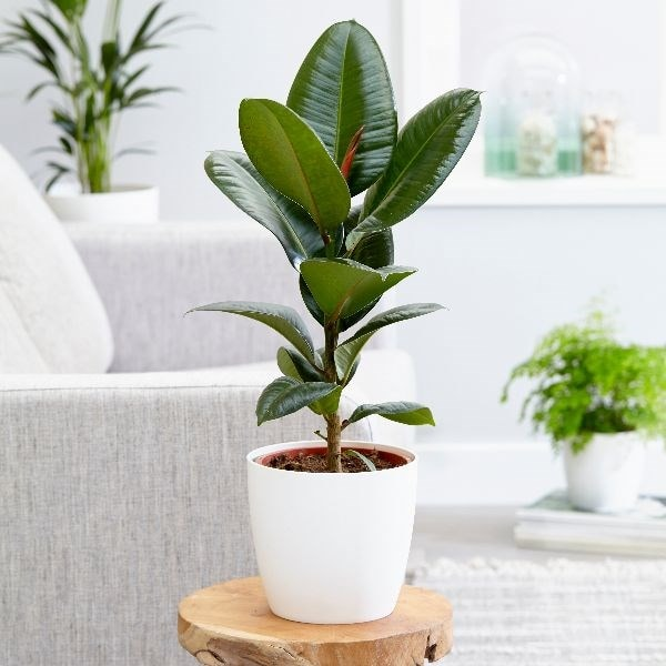 Buy rubber plant Ficus elastica 'Robusta': Delivery by ...  Buy rubber plan...