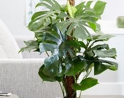 Large 80cm - swiss cheese plant (syn Mostera pertusum )