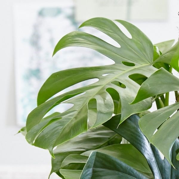Buy swiss cheese plant monstera deliciosa delivery for Plante monstera