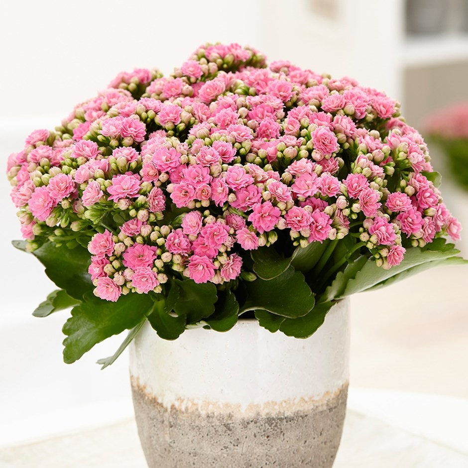 Buy Pink Flaming Katy Kalanchoe Blossfeldiana Don Nando Pbr 899