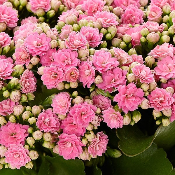 buy pink flaming katy kalanchoe blossfeldiana 39 don nando pbr 39 delivery by waitrose garden in. Black Bedroom Furniture Sets. Home Design Ideas