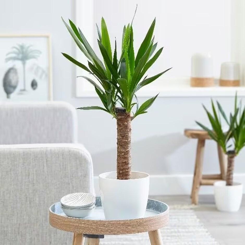 Imagini pentru yucca