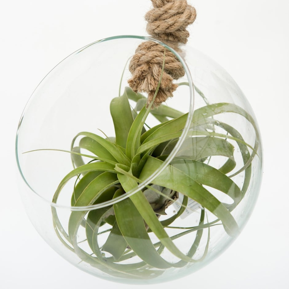 Buy Extra Large Air Plant With Hanging Glass Orb Terrarium