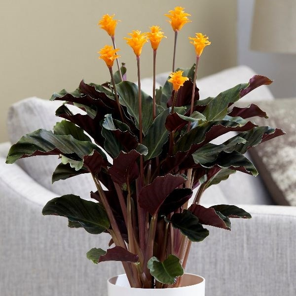 eternal flame (syn Calathea crocata Tassmania)