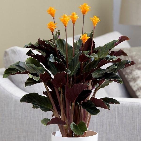 eternal flame (syn Calathea crocata Tassmania)