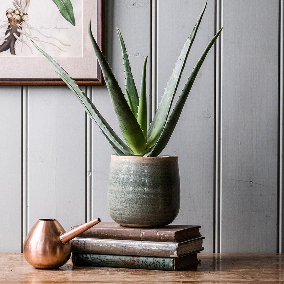 buy barbados aloe syn aloe barbadensis aloe vera. Black Bedroom Furniture Sets. Home Design Ideas