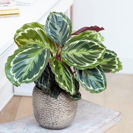 Goeppertia veitchiana Medaillon