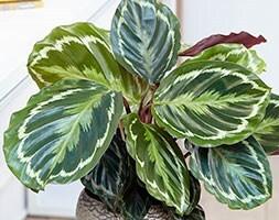The zebra plant (marantaceae) Calathea Medaillon