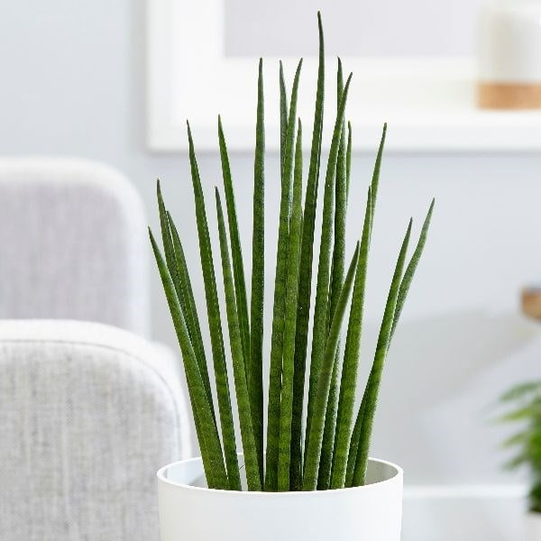 Buy snake plant Sansevieria bacularis 'Mikado': Delivery by ... on one on me plant, spanish dagger plant, male marijuana plant, minima plant, caledonia plant, jolly green giant plant, giant sunflower seeds to plant, linden plant, grand duke plant, paw paw plant, jacob's coat plant, green bamboo plant, red hot plant, daruma plant, polyploid marijuana plant, forever plant, sketch plant, schwag weed plant, parts of a marijuana plant, holly plant,