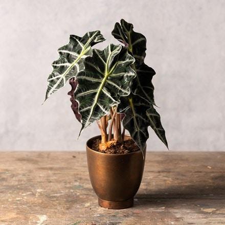 Alocasia × amazonica Polly
