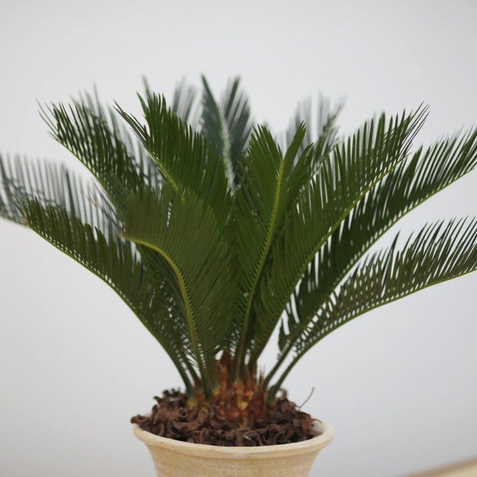 buy sago palm cycas revoluta delivery by waitrose garden in association with crocus. Black Bedroom Furniture Sets. Home Design Ideas
