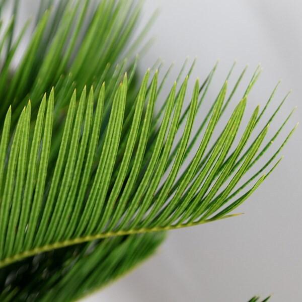 buy sago palm cycas revoluta delivery by crocus. Black Bedroom Furniture Sets. Home Design Ideas