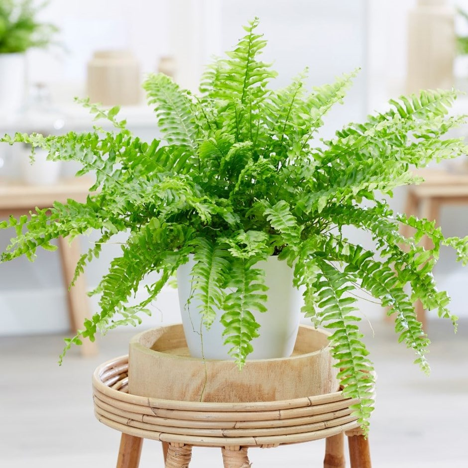 Ferns Plant Care - House Plants Flowers