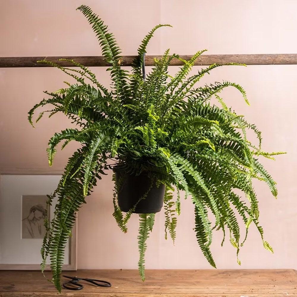 Buy boston fern nephrolepis exaltata delivery by waitrose - Nephrolepis exaltata ...