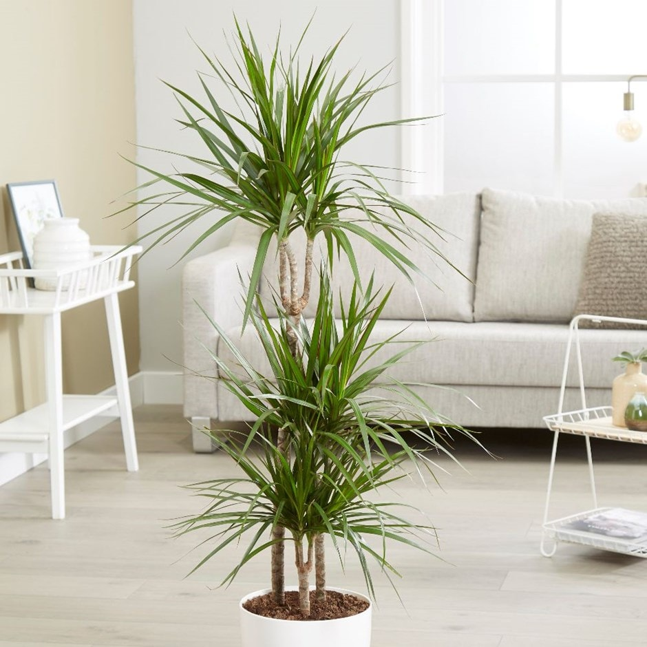 Buy dragon plant dracaena marginata delivery by waitrose for Dracaena marginata