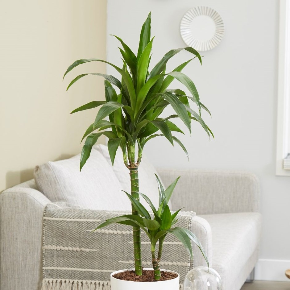 Buy dragon tree dracaena fragrans janet craig for Plante dracaena