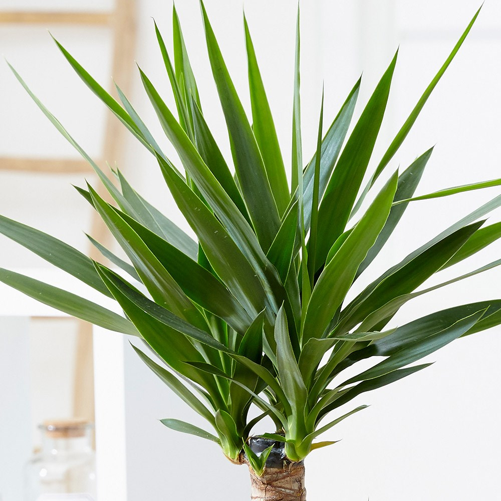 Buy Spineless Yucca Yucca Elephantipes 163 34 99 Delivery By