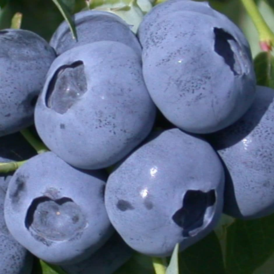blueberry -  mid season fruiting / Vaccinium 'North Country'