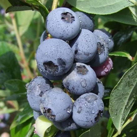 blueberry Goldtraube