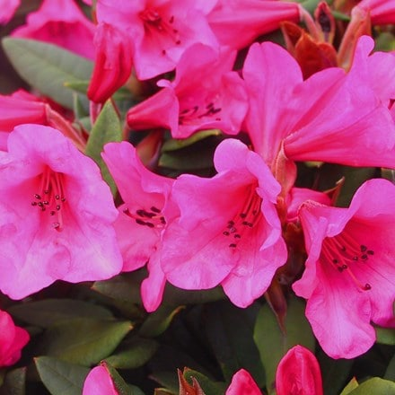 Rhododendron (Winsome Group) Winsome