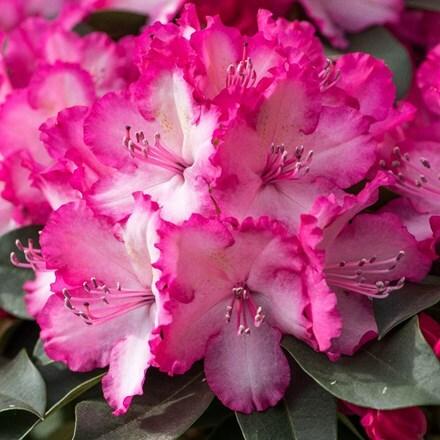 Rhododendron XXL ('Hort02') (PBR)