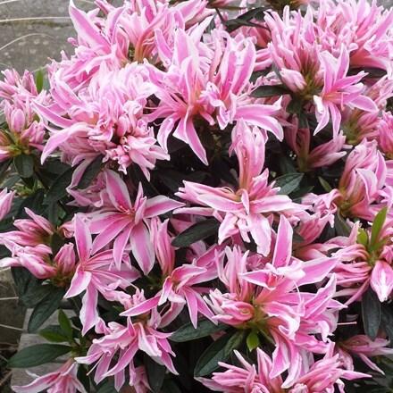 Rhododendron Pink Spider (PBR)