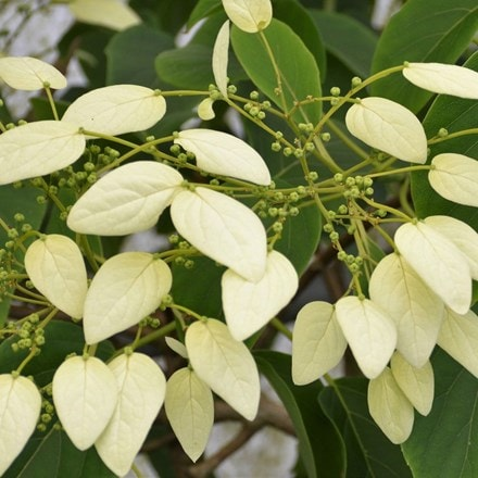 Schizophragma faurei Angel Wings