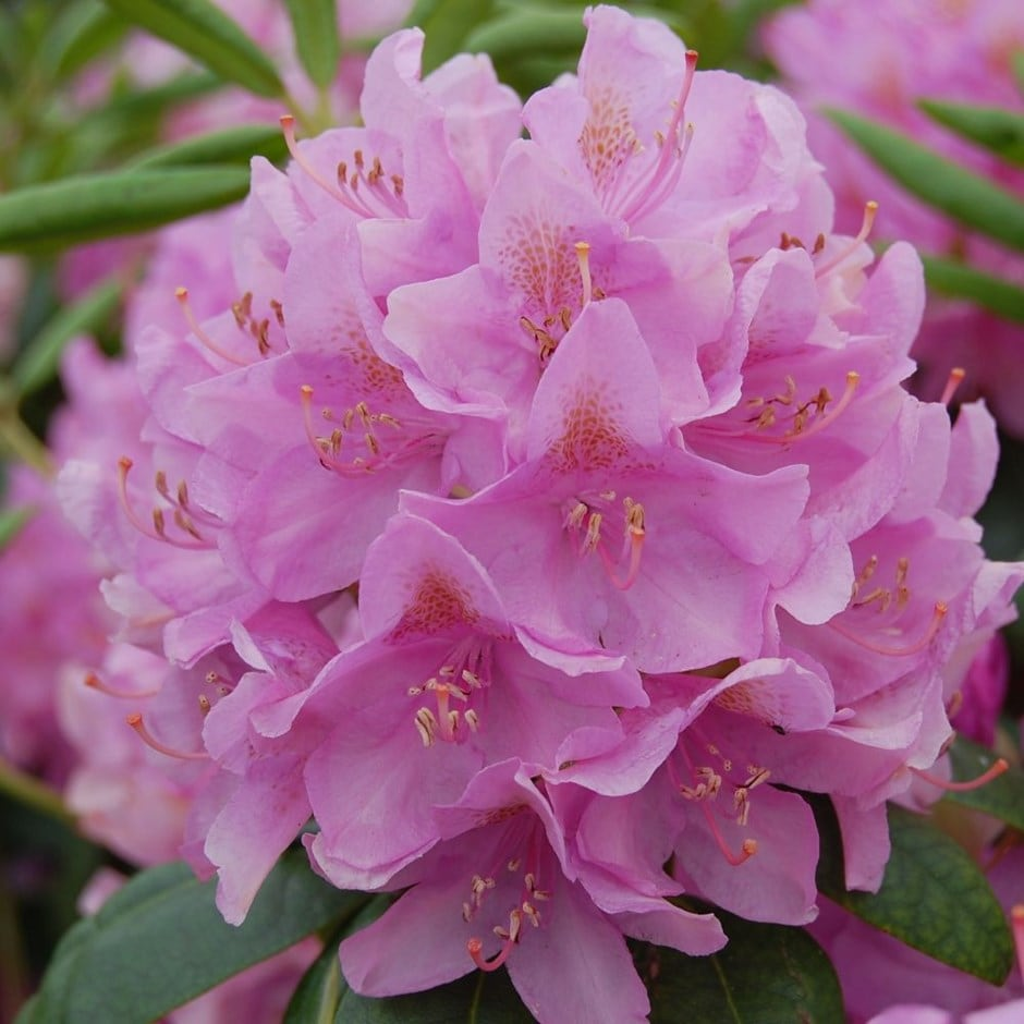 buy hybrid rhododendron rhododendron roseum elegans 29. Black Bedroom Furniture Sets. Home Design Ideas