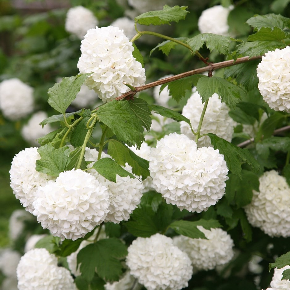 snowball tree ( syn. Sterile )