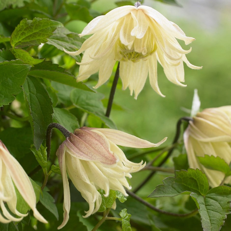 RHS Chelsea Flower Show Plant of the Year 2016 - clematis (group 1)
