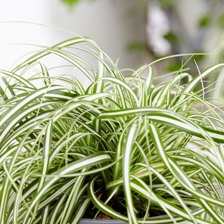 Carex oshimensis Everlite (PBR) (EverColor Series)