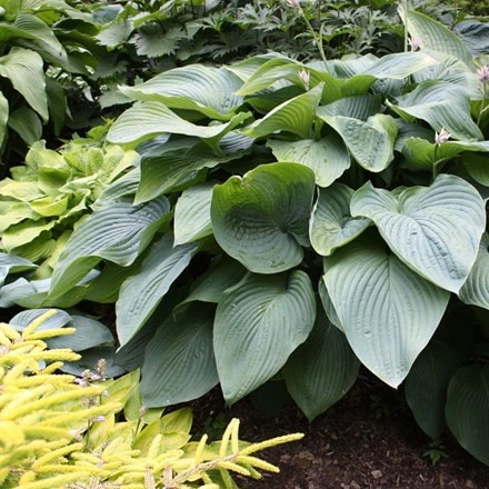 Hosta Empress Wu (PBR)