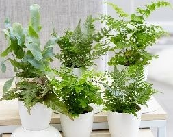 Fern starter collection