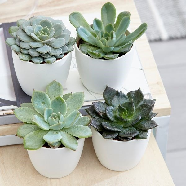 buy hen and chicks succulent echeveria starter collection delivery