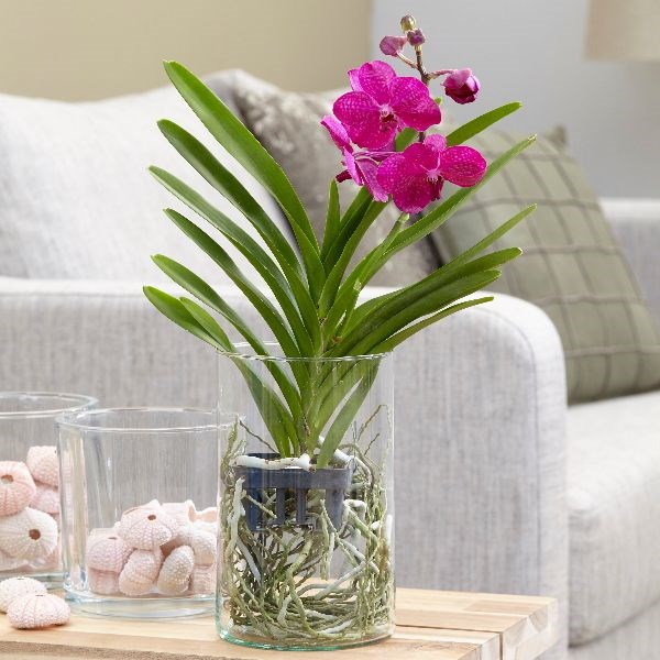 Buy Vanda Orchid In A Glass Vase Vanda Tayanee Cerise Delivery By