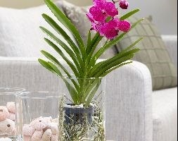 vanda orchid in a glass vase