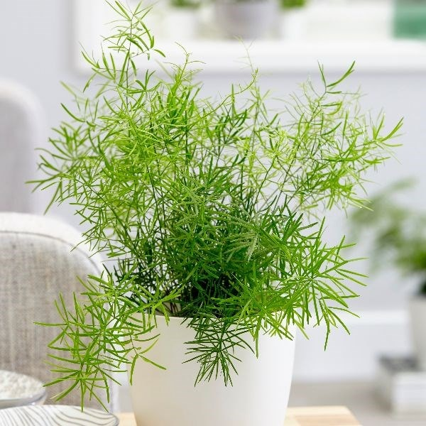 Buy Emerald Fern Asparagus Densiflorus Sprengeri Group 9 99 Delivery By Crocus