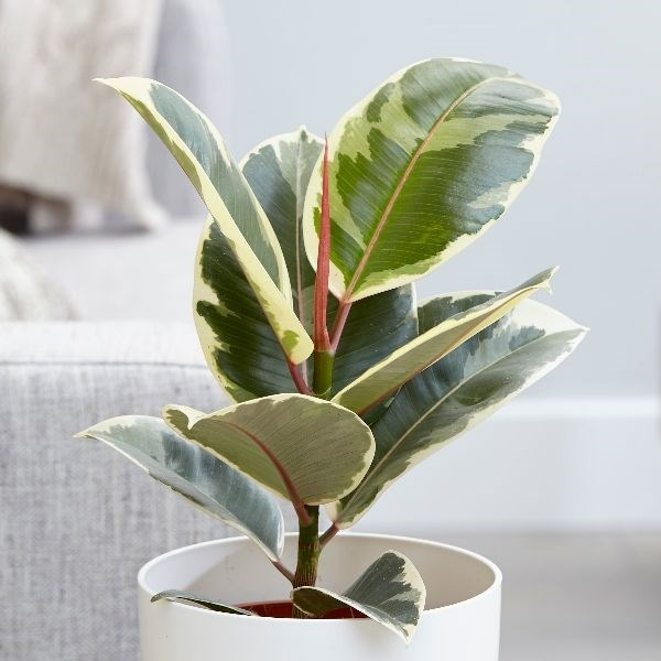Large Plant In Living Room