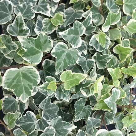 Hedera helix White Wonder