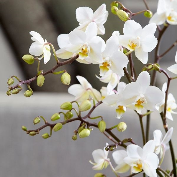Buy Moth Orchid Phalaenopsis White Willd Orchid 163 24 99
