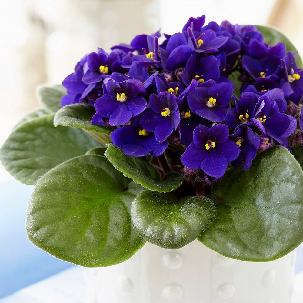 buy african violet saintpaulia  u0026 39 top dark blue u0026 39   delivery