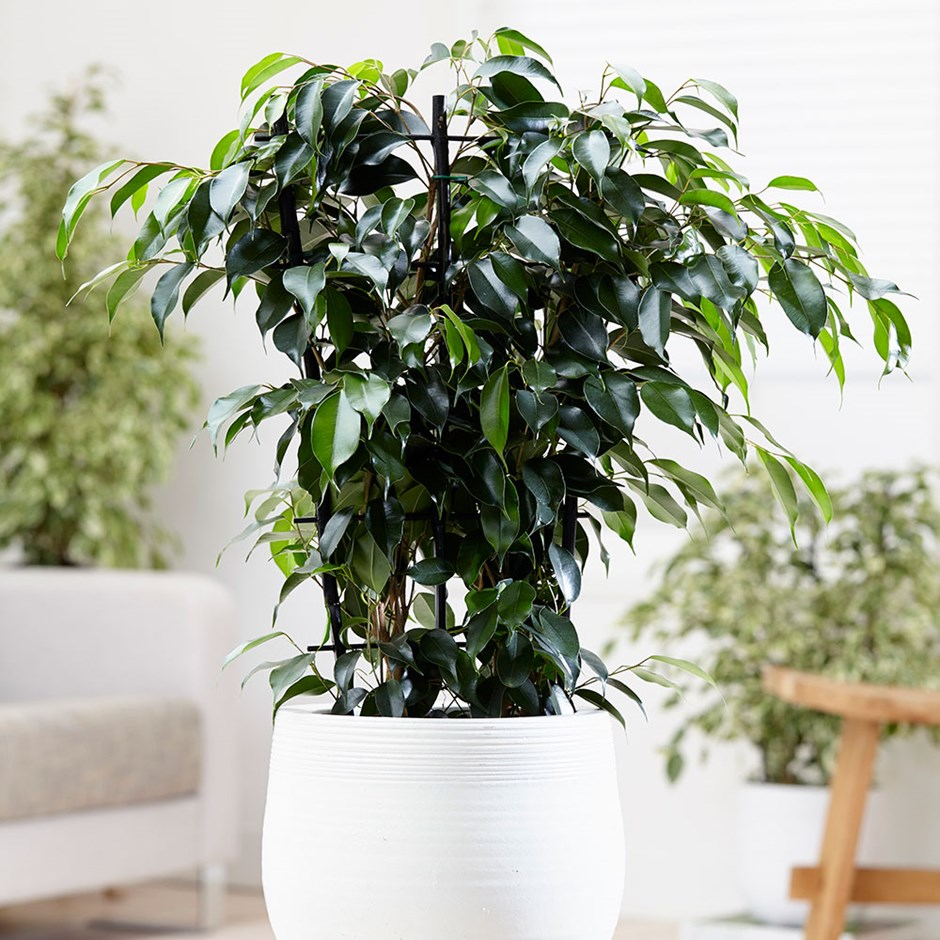 Picture of Live Weeping Fig Tree aka Ficus Benjamina Green Foliage Hanging Plant Fit 5GAL Pot