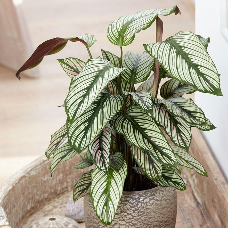 Buy The Zebra Plant Marantaceae Calathea White Star 163 15